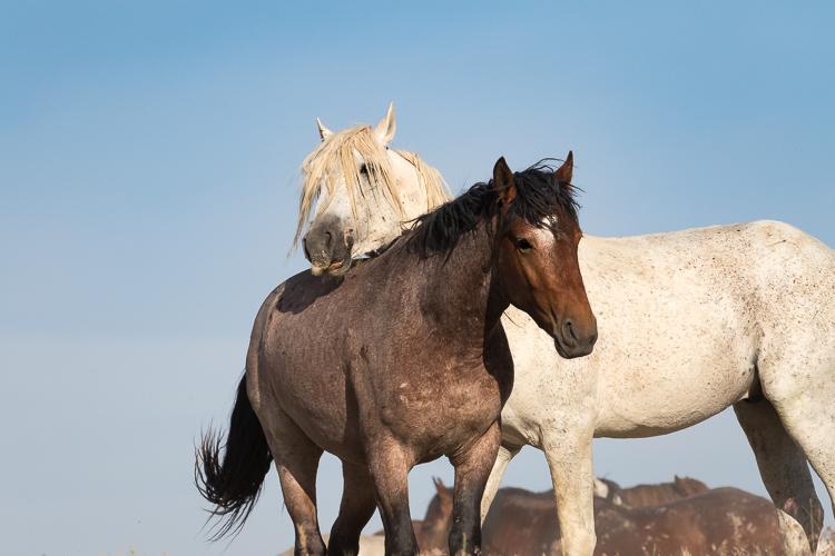 Onaqui-Wild-Horses-58.jpg
