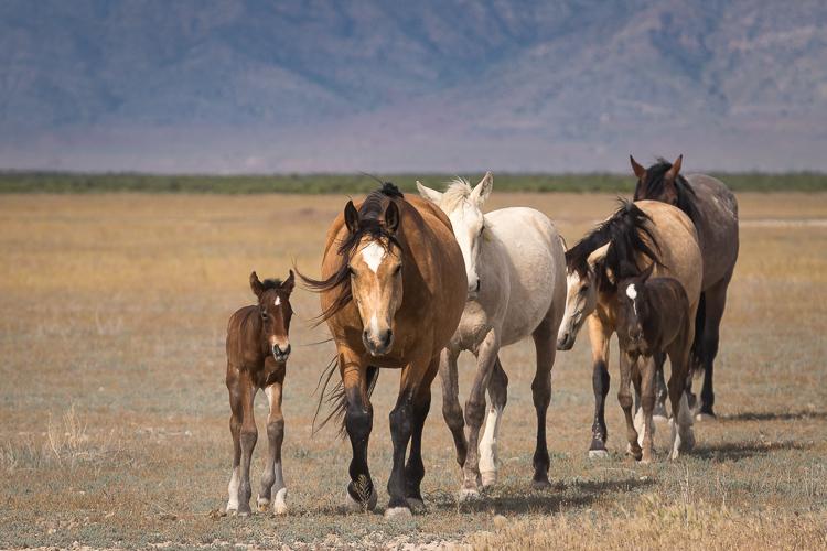 Onaqui-Wild-Horses-69.jpg