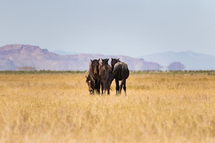 Onaqui-Wild-Horses-89.jpg