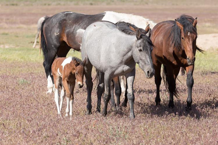 Onaqui-Wild-Horses-106.jpg