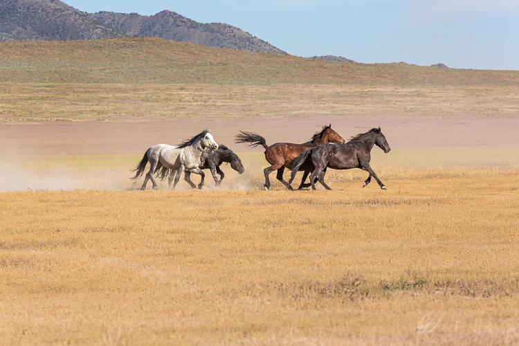 Onaqui-Wild-Horses-126.jpg