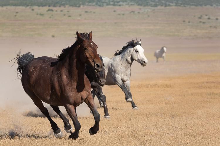 Onaqui-Wild-Horses-131.jpg