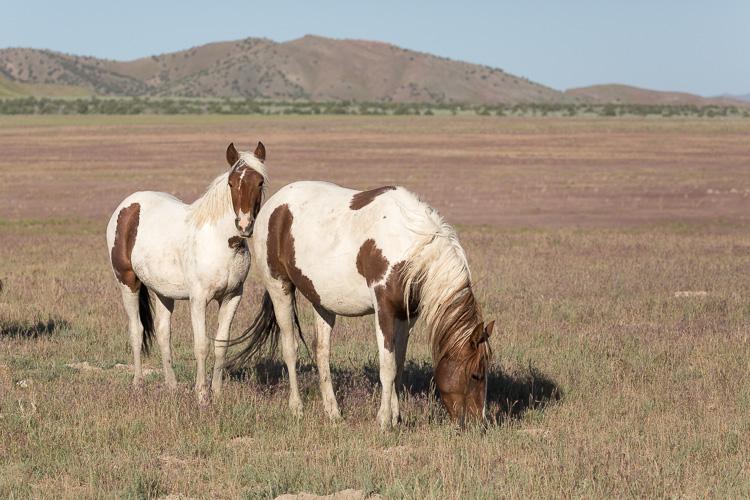 Onaqui-Wild-Horses-179.jpg