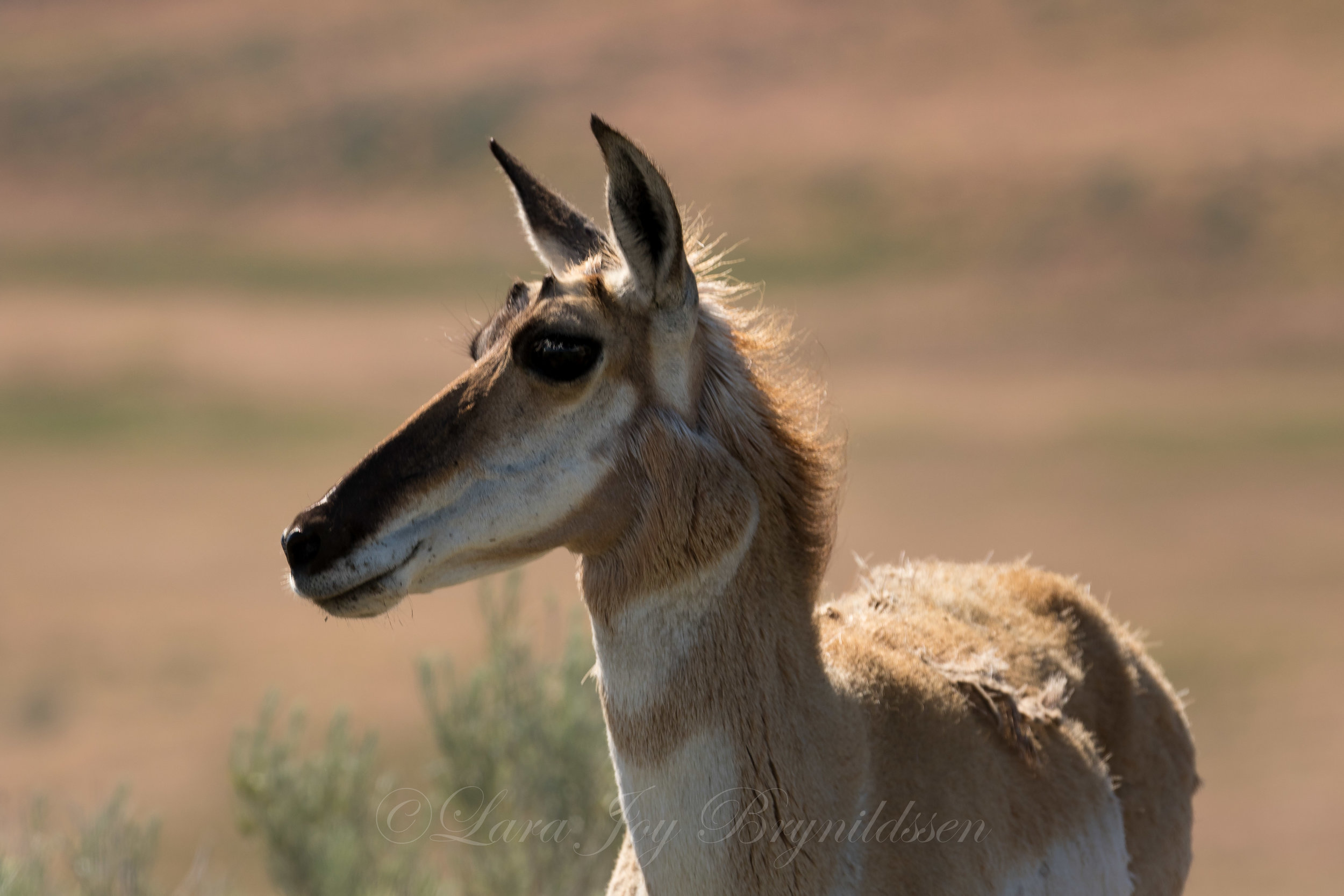pronghorn-antelope-island-state-park