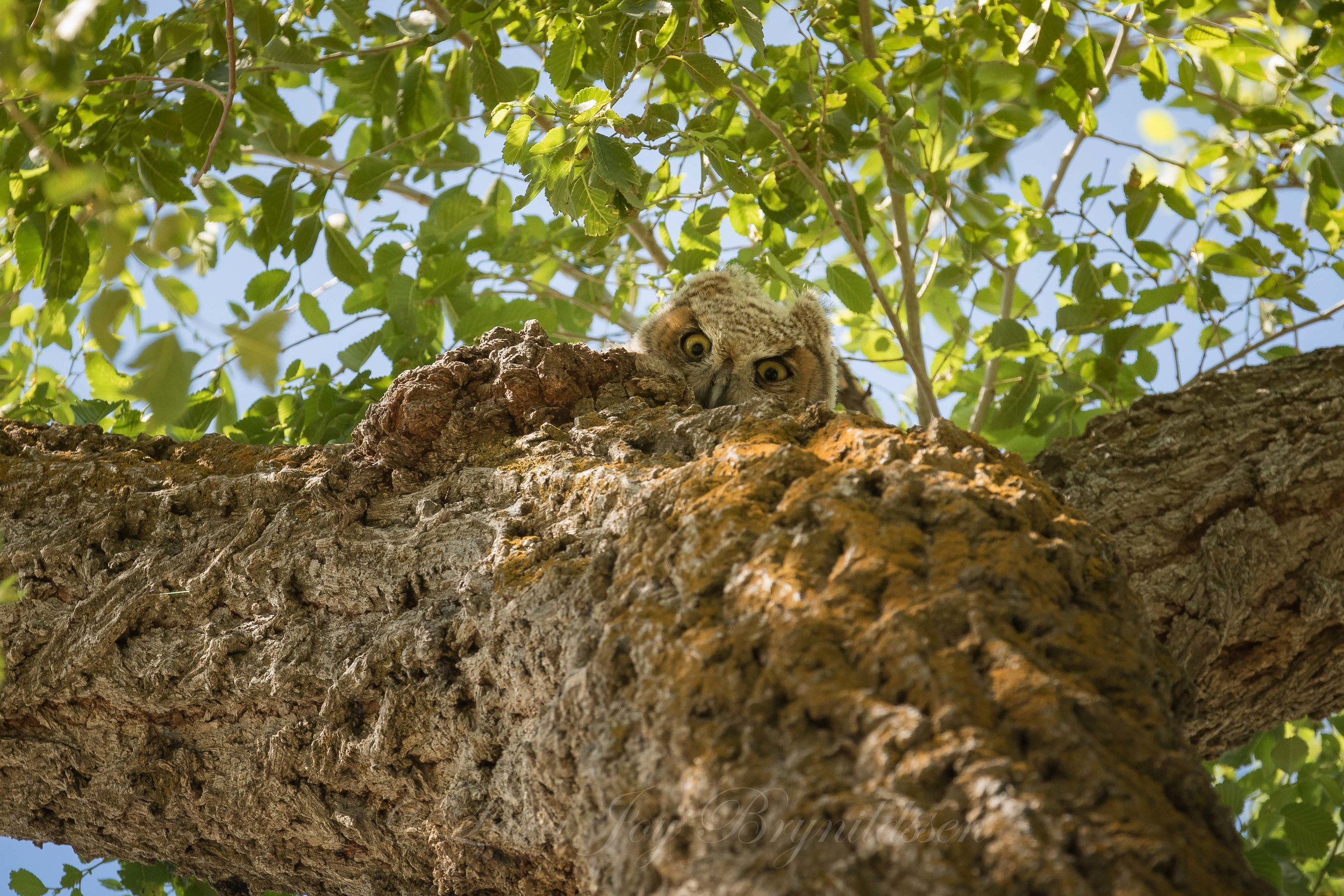 baby-owlet-antelope-island-state-park