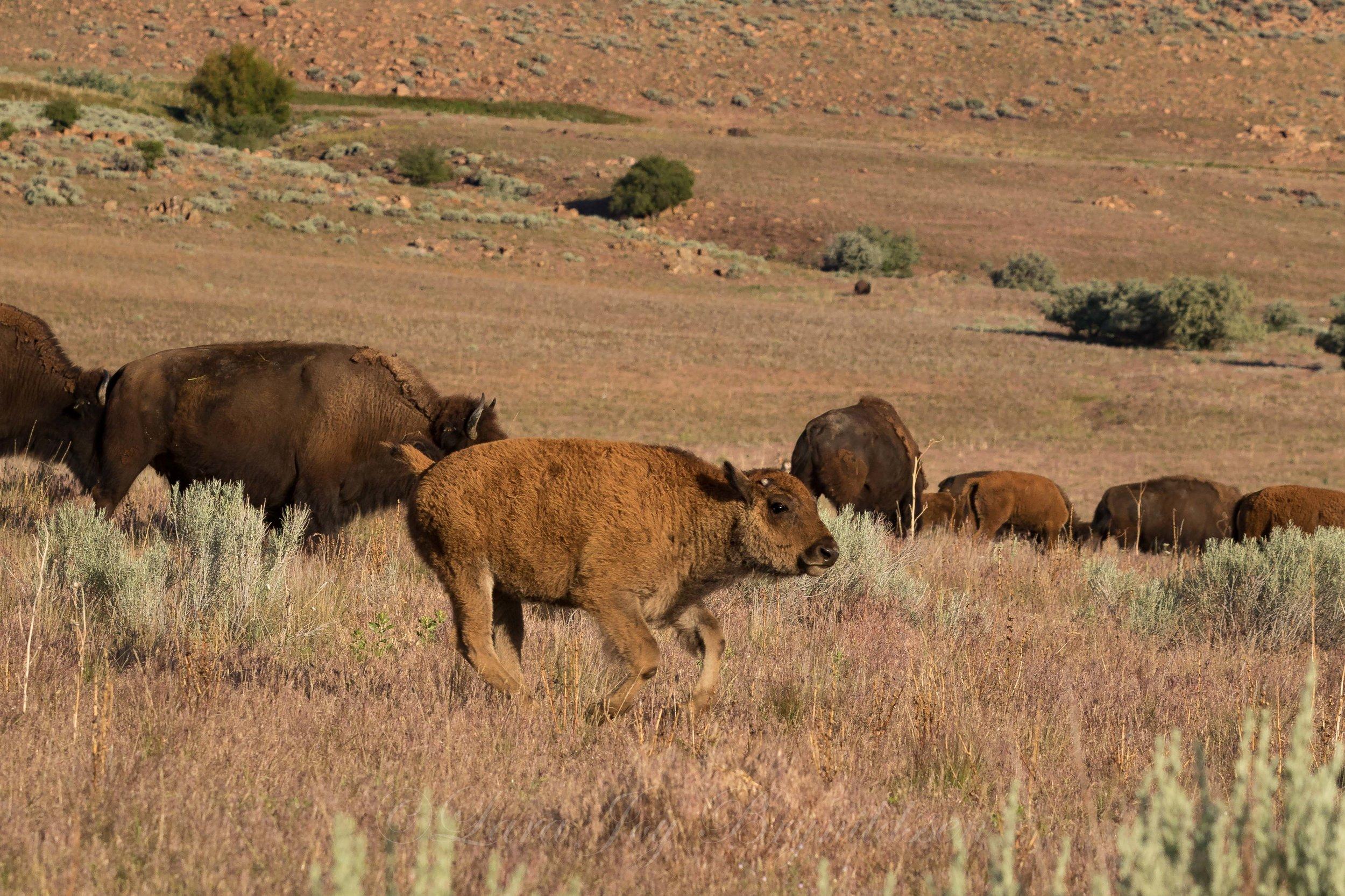 running-baby-buffalo-antelope-island-state-park-utah