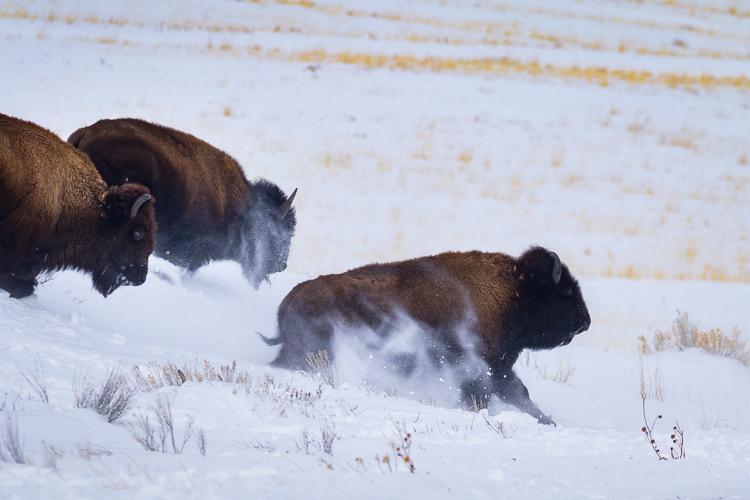 buffalo-running-snow-antelope-state-park-utah