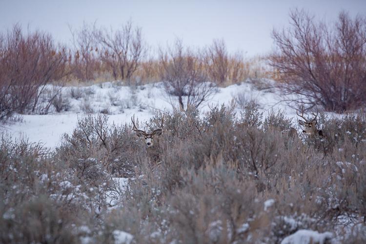Mule-deer-antelope-state-park-utah