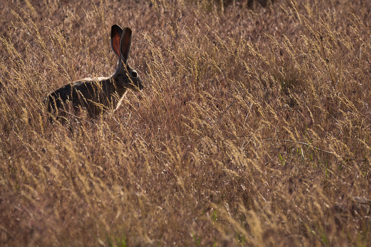 jackrabbit-antelope-island-state-park