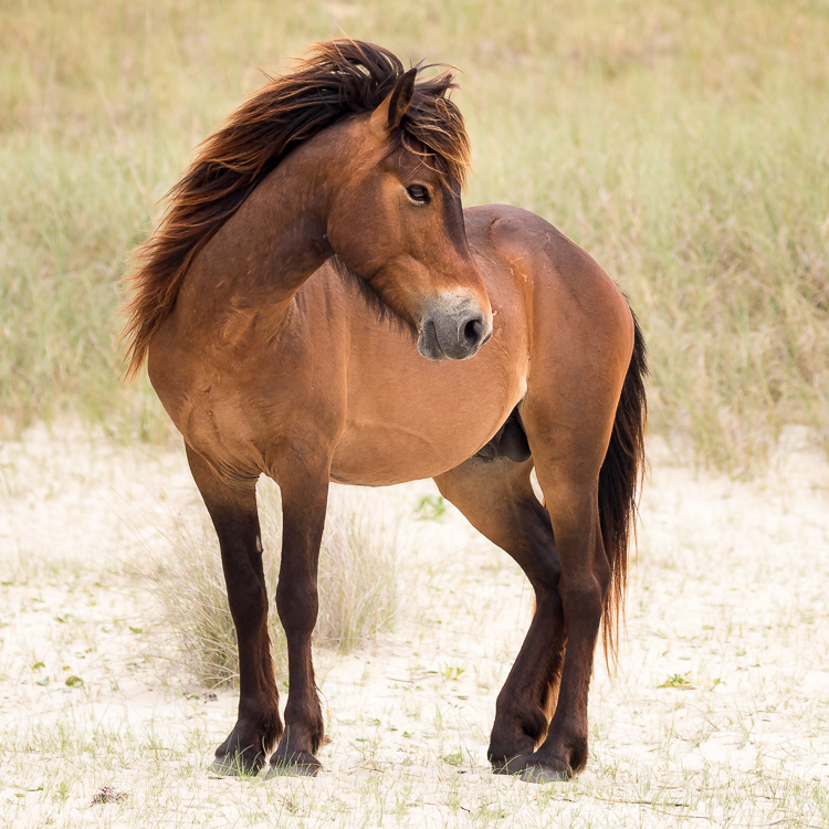 Wild banker stallion, Shackleford Banks, NC.