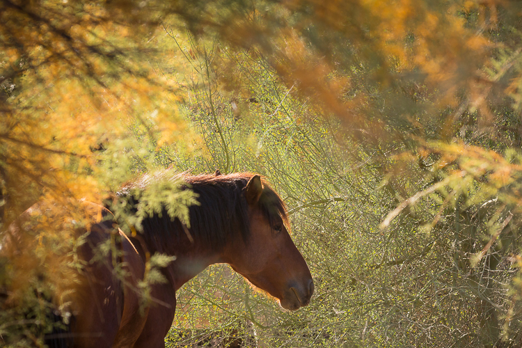 In January 2018, on our Salt River Wild Horses photography workshop, co-teacher PJ Kaszas and I will work with you to find and photograph gorgeous wild horses in beautiful settings like this one.