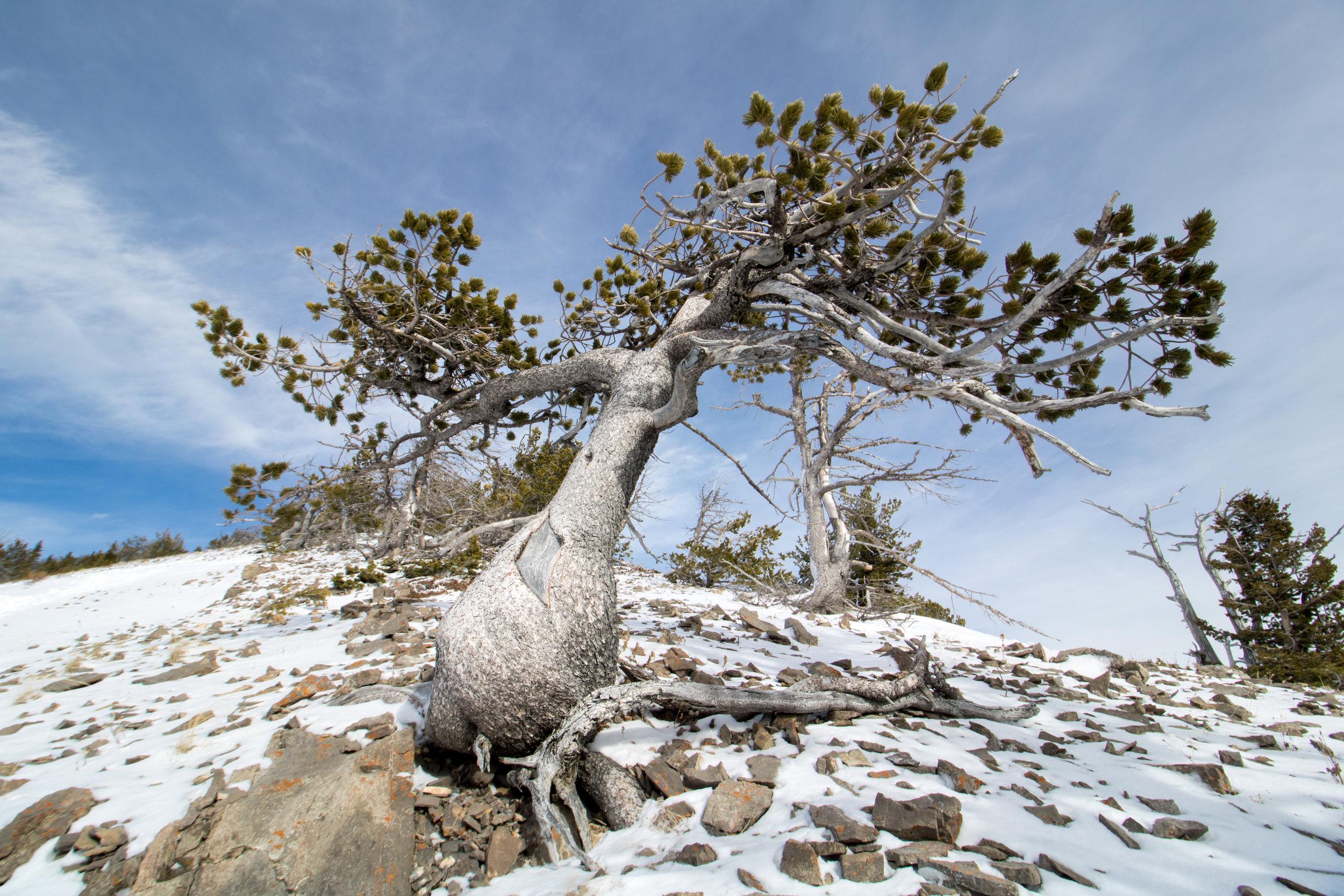 Winter Tree. Gallatin N.F., Mont. (Nov. 2016)