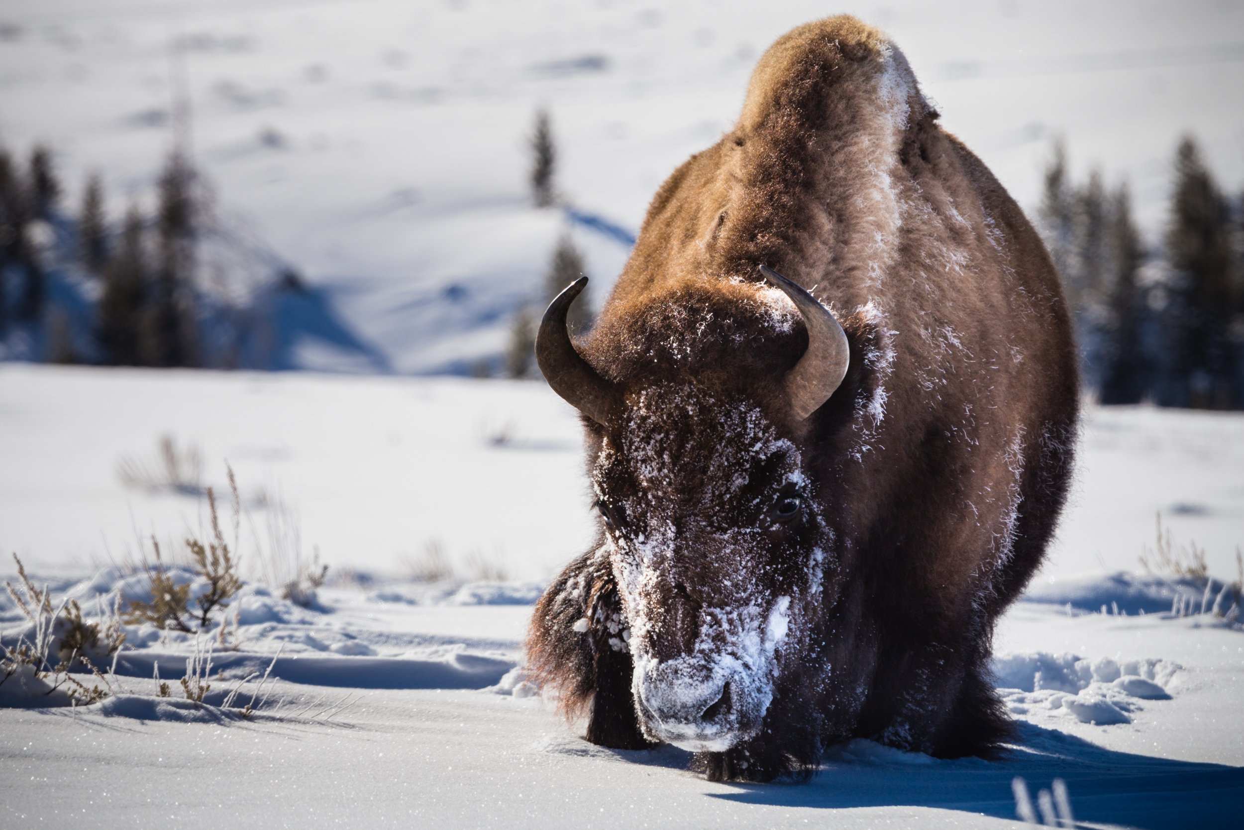 Trudge. Yellowstone N.P. (Feb. 2019)