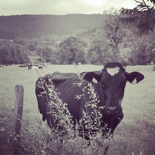 """Had to tag @markpdetwiler for making fun of me for a solid half hour today about how cute I find cows. Him: """"You lived next to cows the whole time you were growing up... You didn't always find them this interesting."""" Yup I did and do. Cows are adorable; and especially alpine cows. 😊🐄 #cow #markandjeannette #france #roadtrip"""