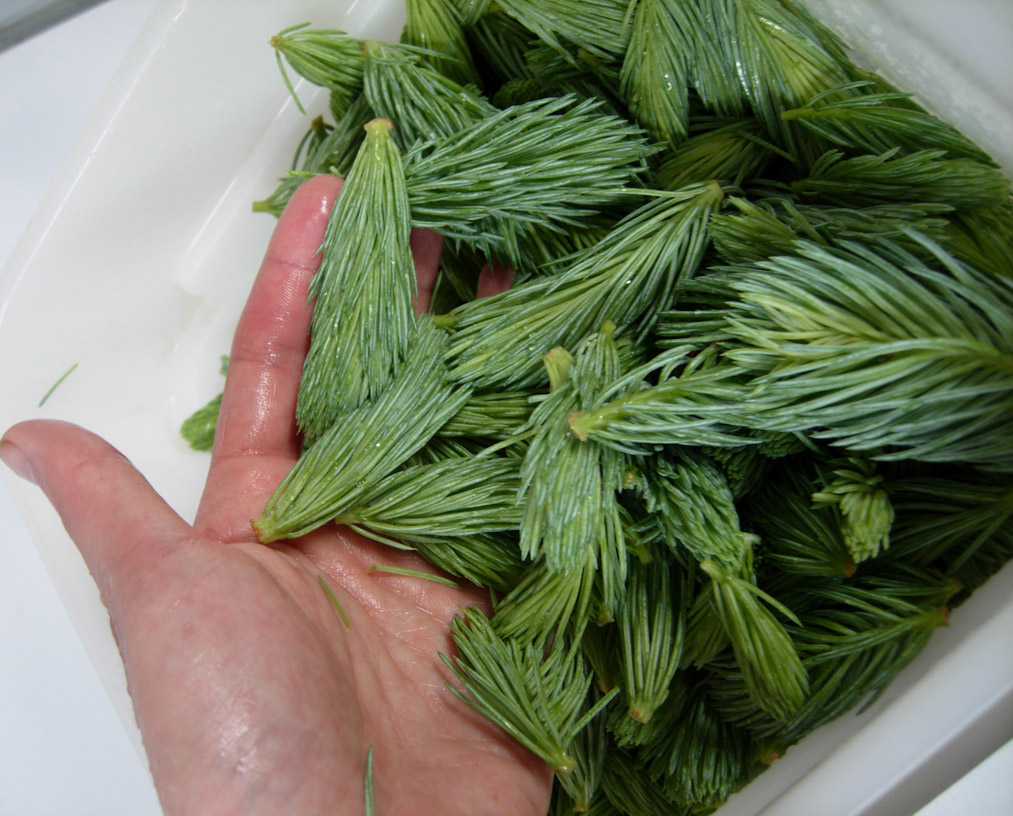 our foraged spruce shoots!