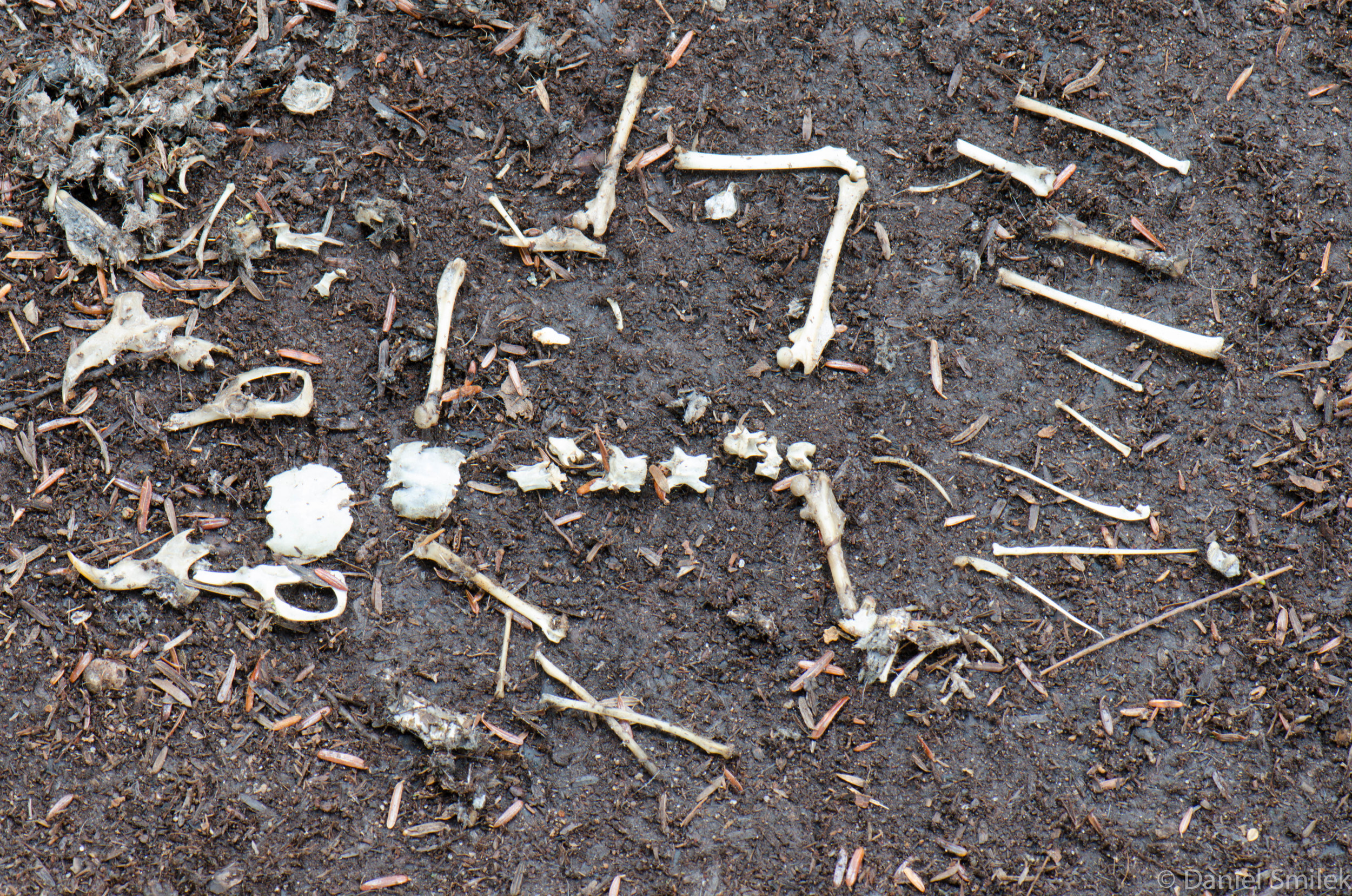 The bones in the owl pellet.