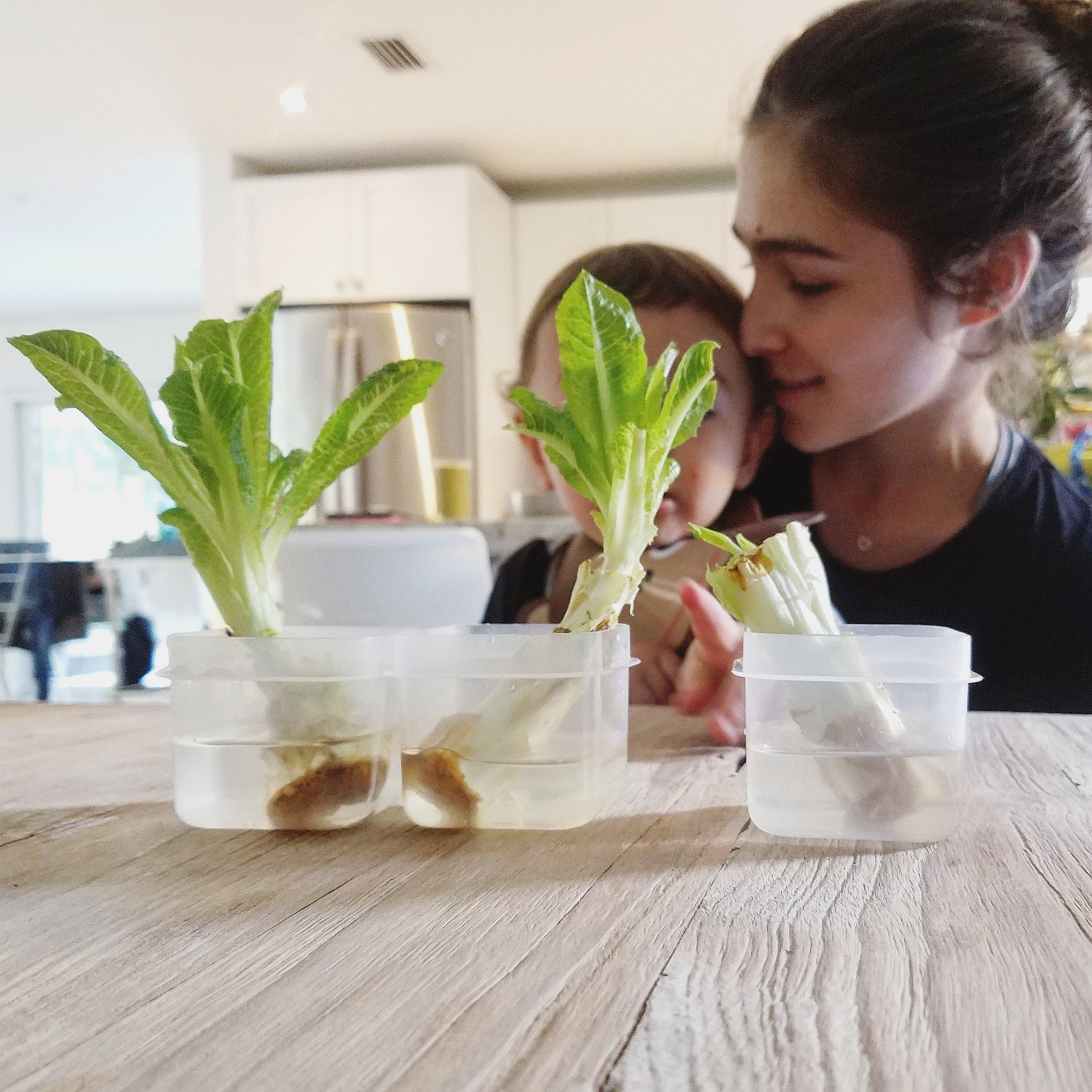 Regrowing romain lettuce from scraps
