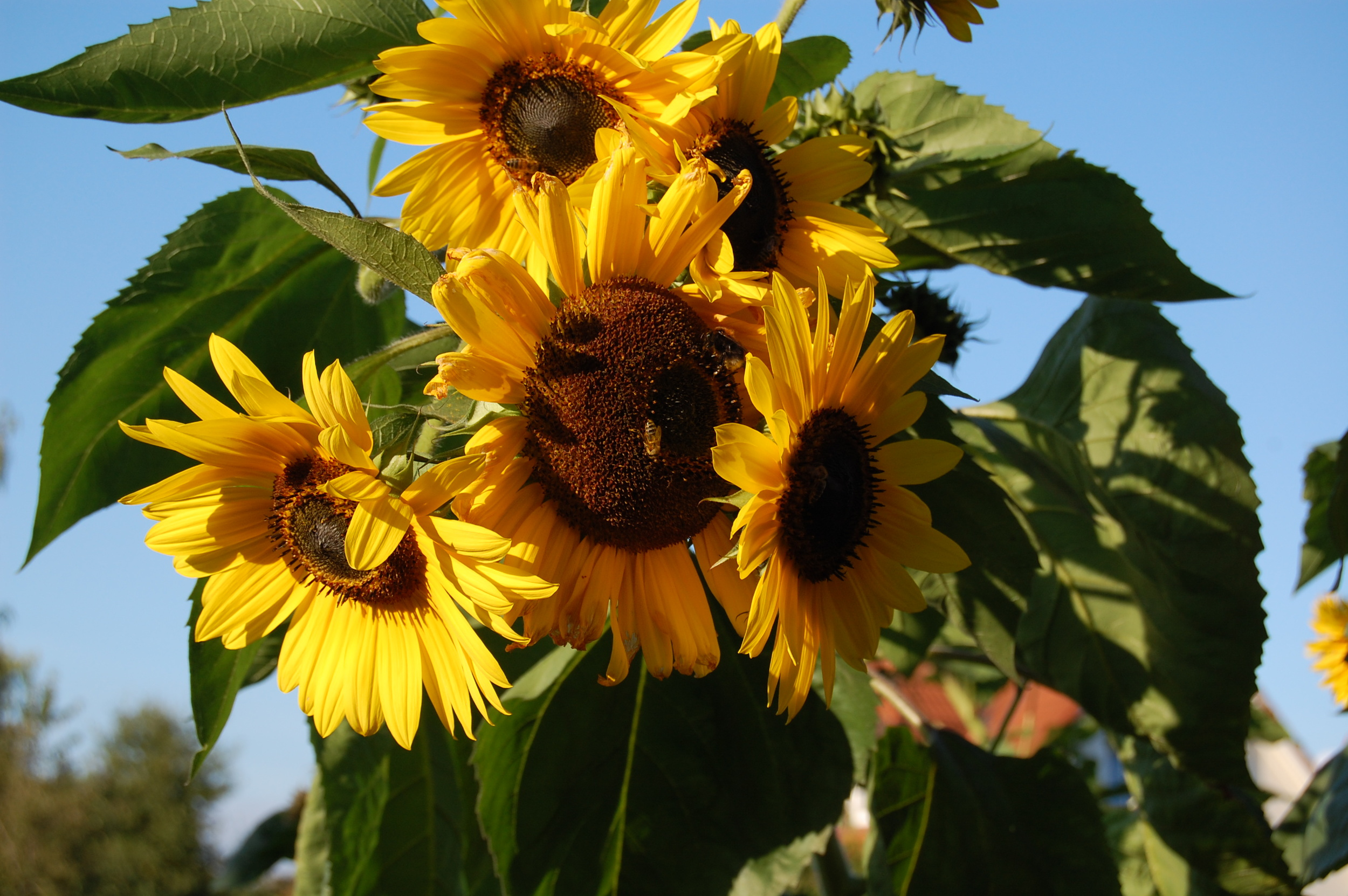 Sunflowers buzzing with bees in the gardens across the street.