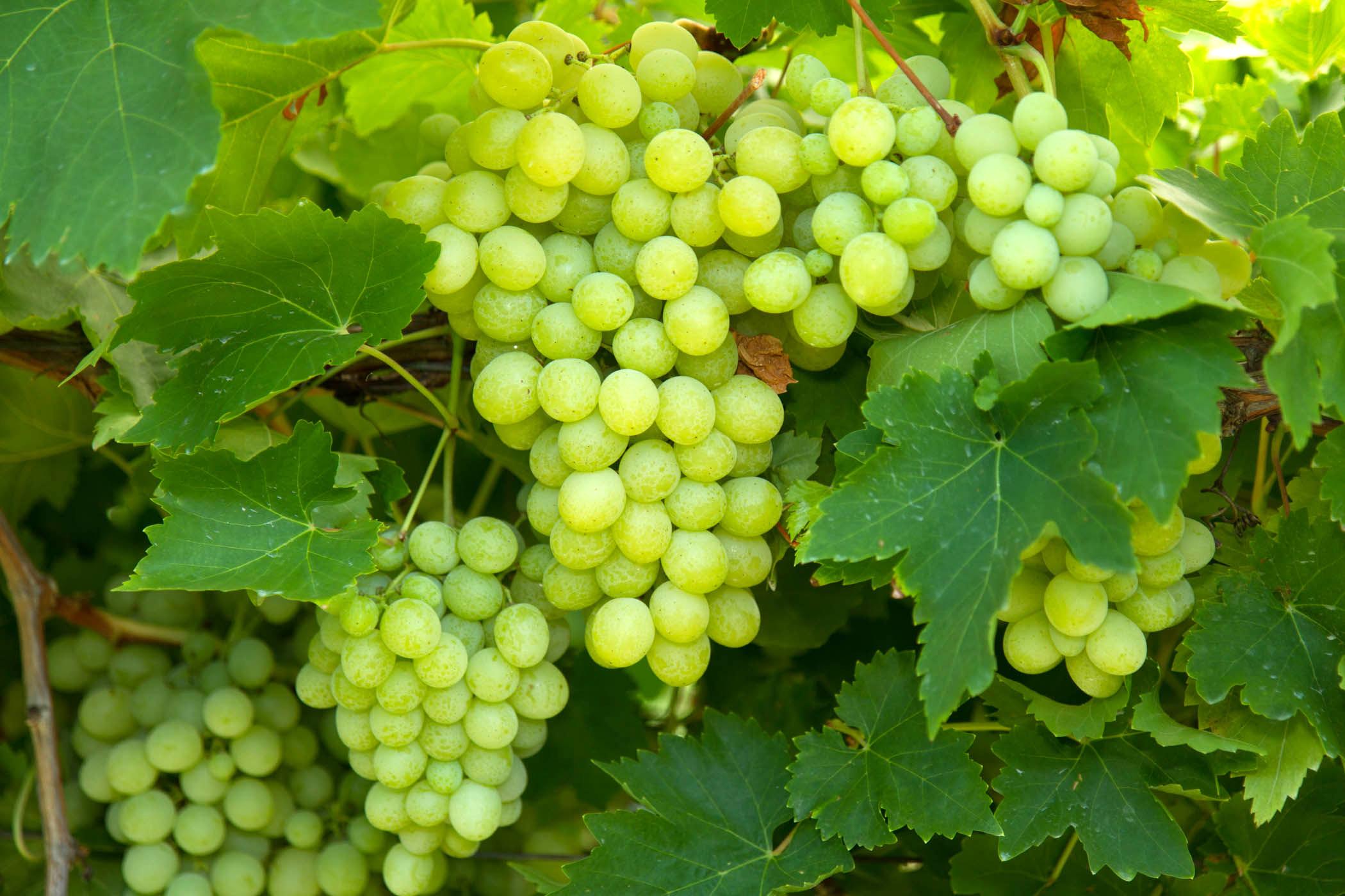 Grapes12.jpg