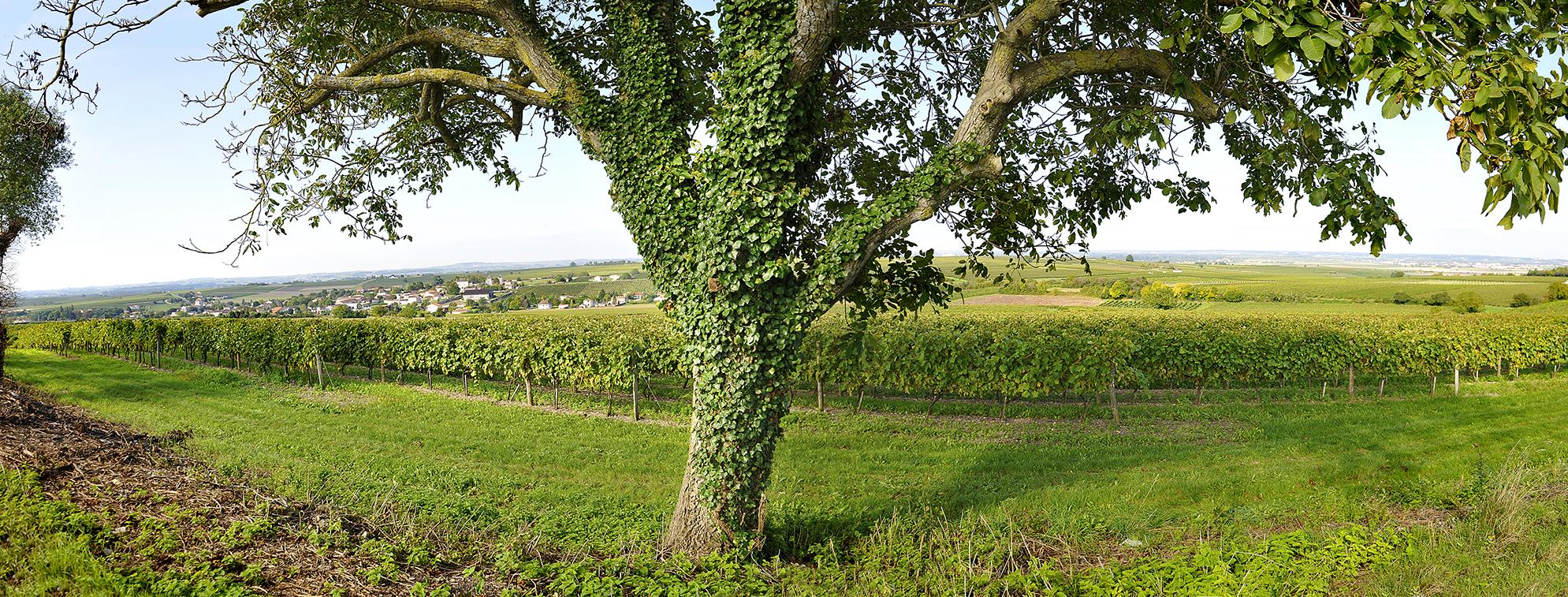 View of Drouet Vineyards