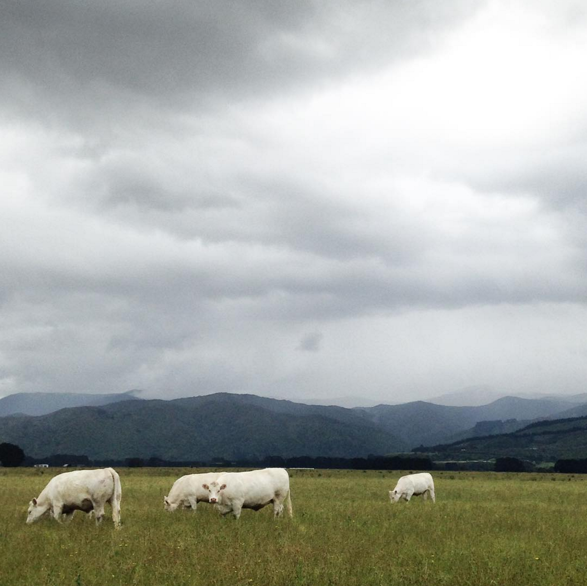 Herd of albino bovine.