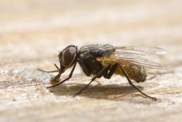Adult housefly feeding on sugar