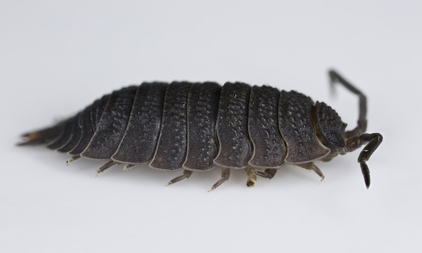 The Slater (also know as the Woodlouse or Pillbug)