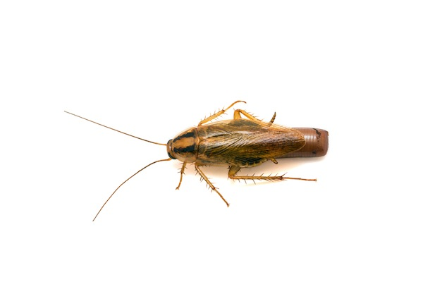 Female German cockroach carrying an egg case