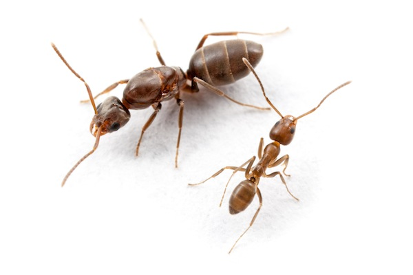 Argentine ant (queen and worker)