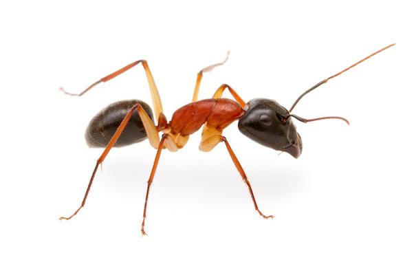 Black-headed sugar ant