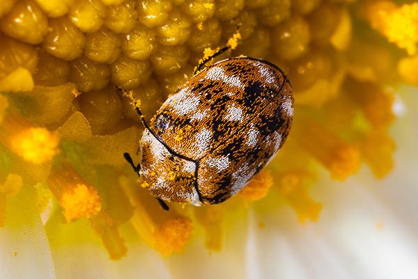 Adult variegated carpet beetle