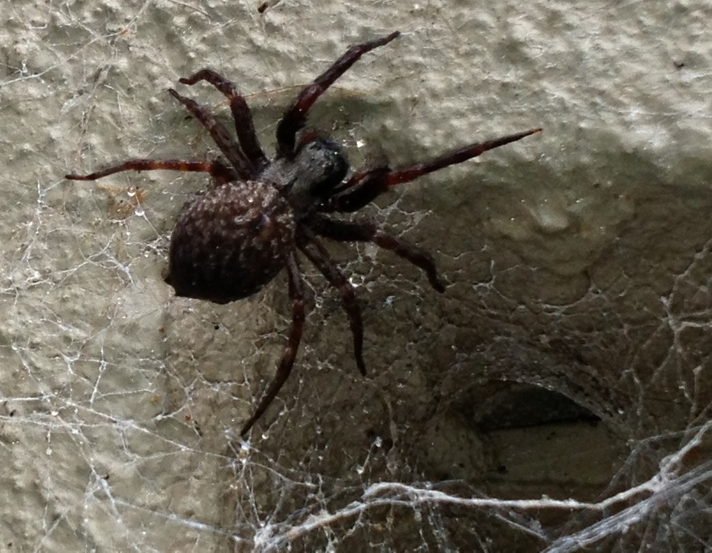Black House spiders love to make their webs around windows, doors and eaves