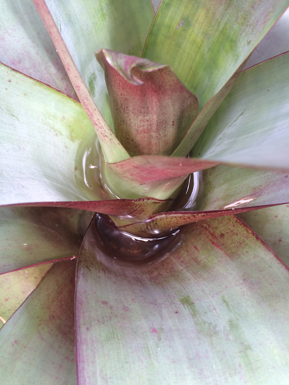 Water in Bromeliads - A favourite mosquito breeding spot
