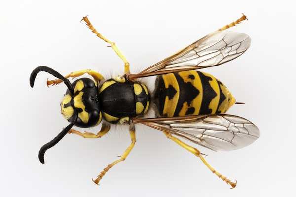 European or German Wasp