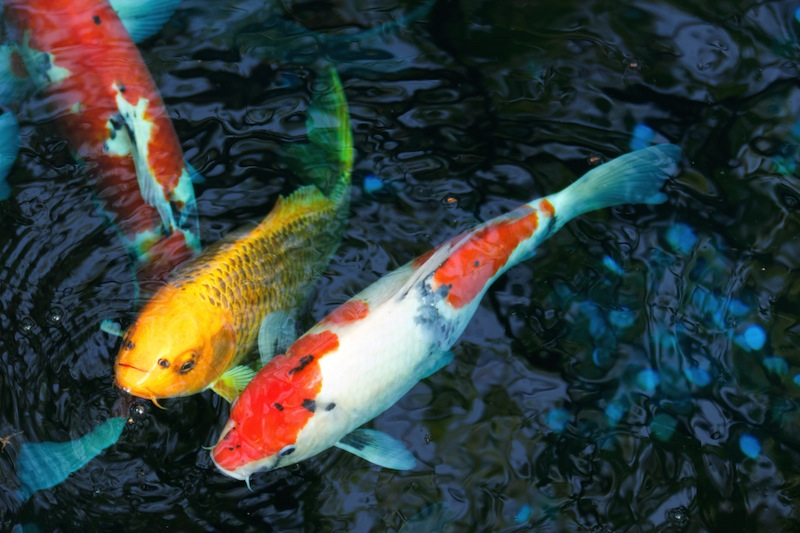 Fish tanks and ponds should be covered before spraying an area with insecticide