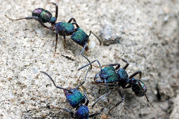 Green-headed ant