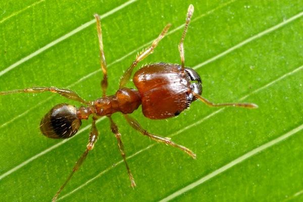 Big-headed or coastal brown ant