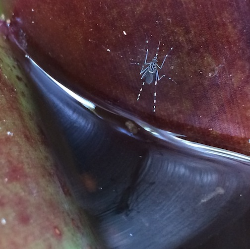 Plants such as Bromeliads make great mosquito breeding sites
