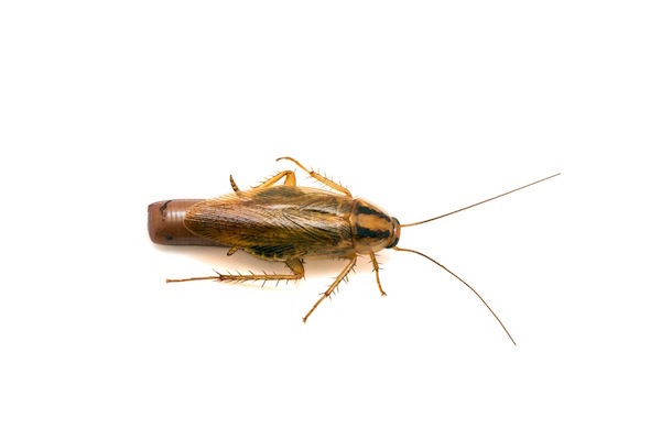 German cockroach (1.5cm) and egg case