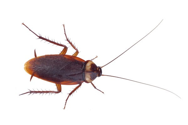 American cockroach (up to 5cm)
