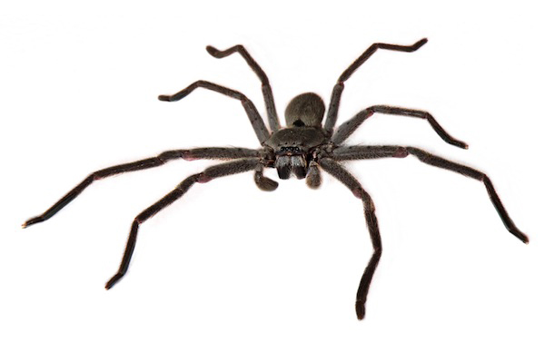 The grey huntsman ( Hoconia immanis ) can have a leg span of up to 23 cm