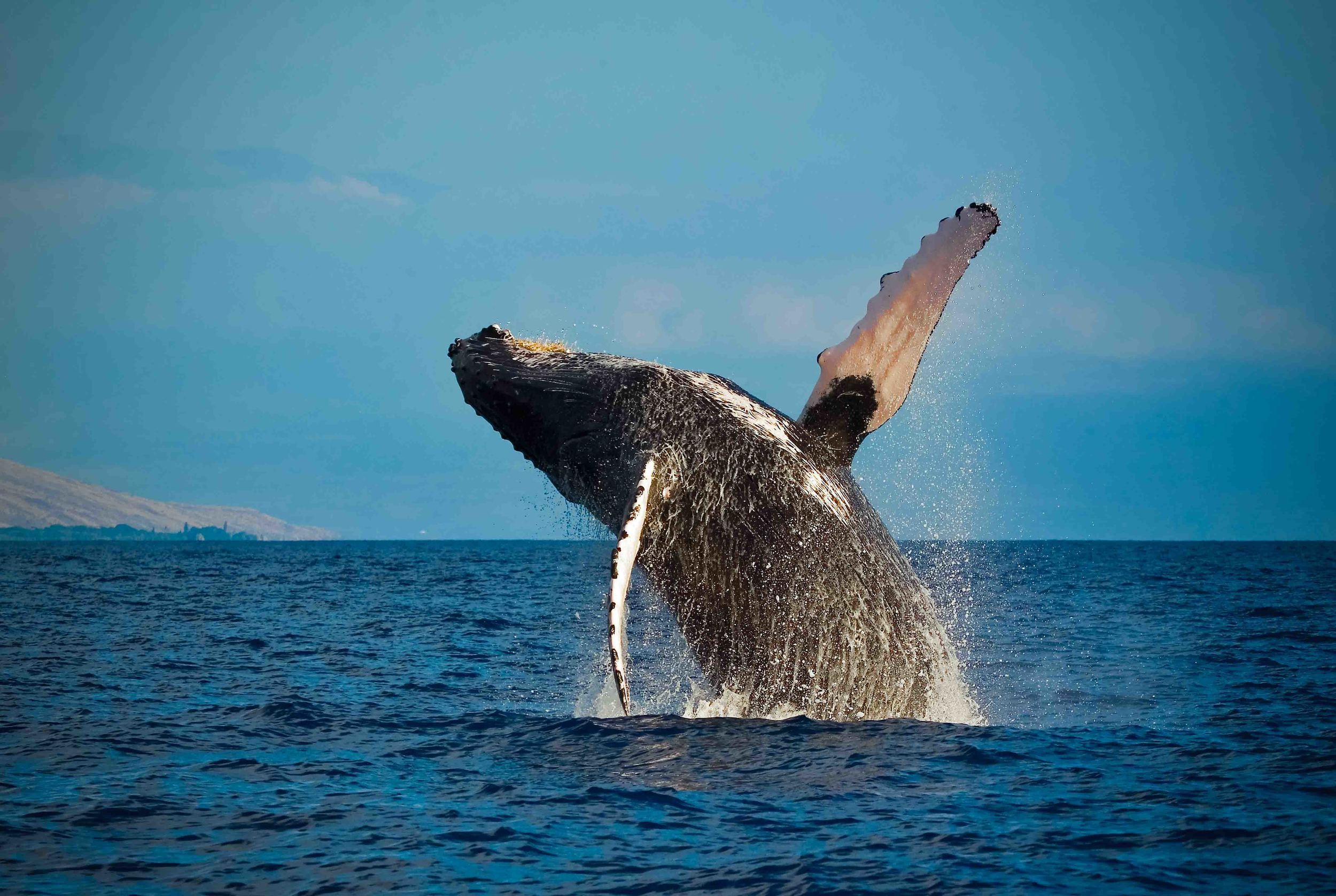 Experience Whales Dec Through May   in all their majesty on our whale watch tours   BOOK TODAY