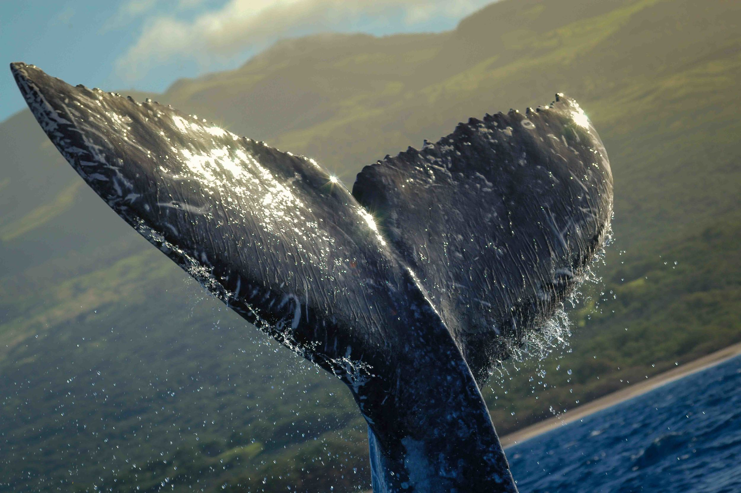 Big Adventure   up close and personal  WHALE WATCH SEASON DEC THRU MAY