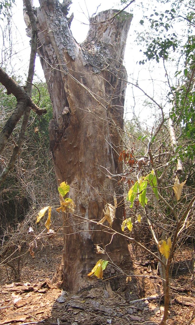 As árvores morreram naturalmente, muita das vezes devido a trovões  - Trees that have died naturally, often due to lightening strikes