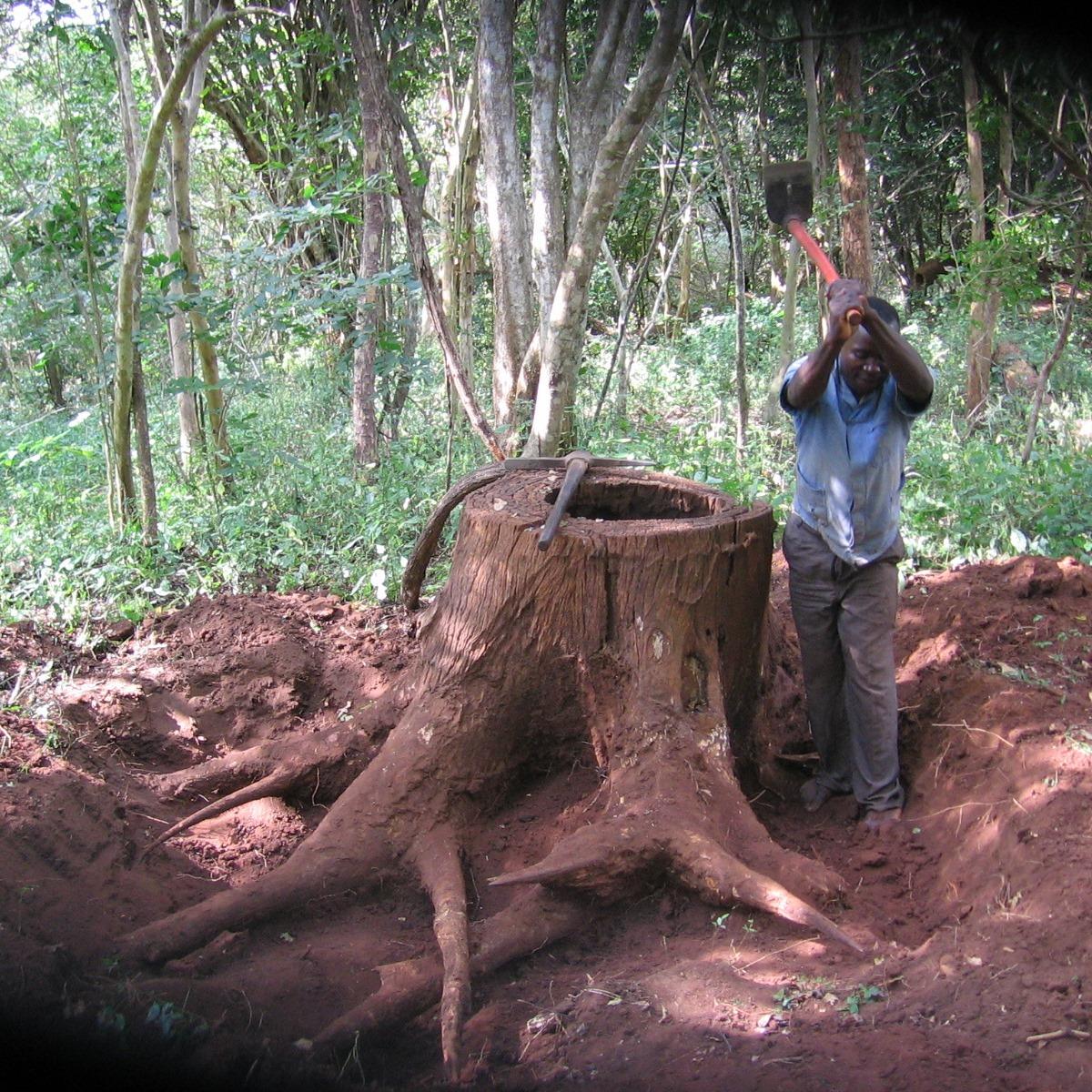 Cepos de colheitas de 1970 são retirados da terra para serem usados  - Stumps from felling in the 1970 are dug up to be used.