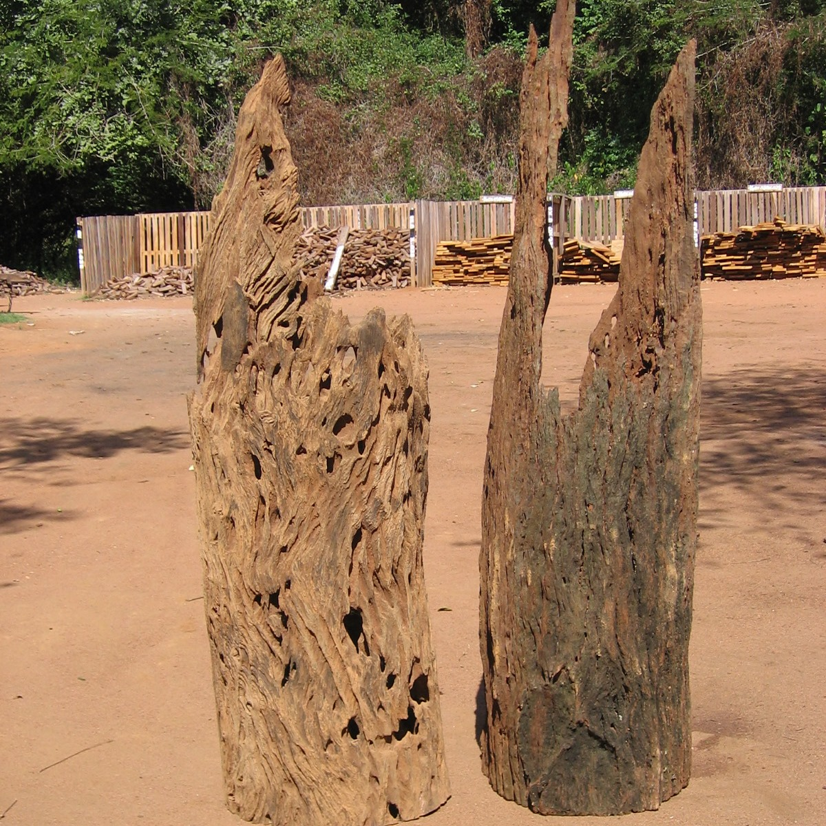 Troncos ocos interessantes  - Interesting hollow trunks