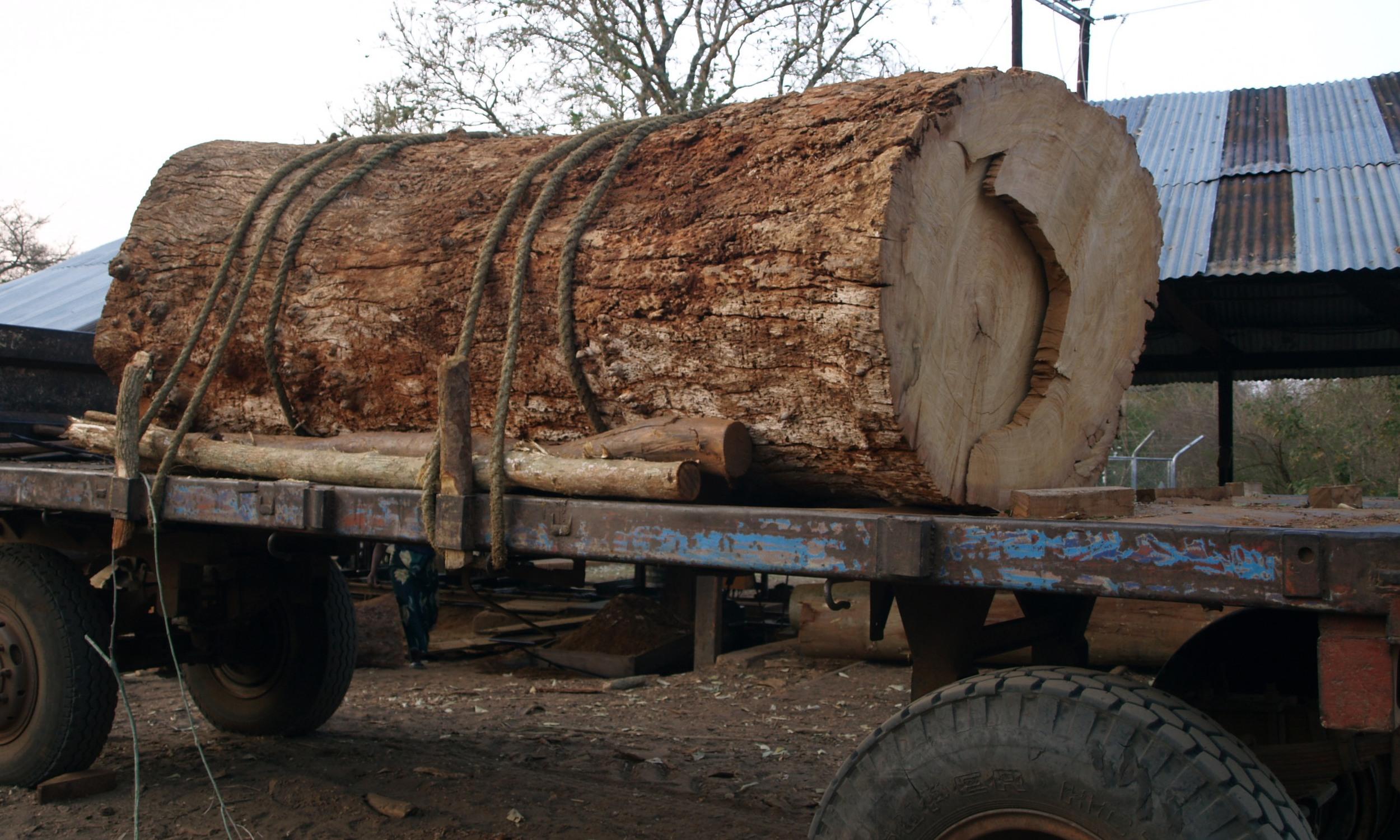 Troncos mortos a serem transportados para o     Serração - Dead logs transported to the mill