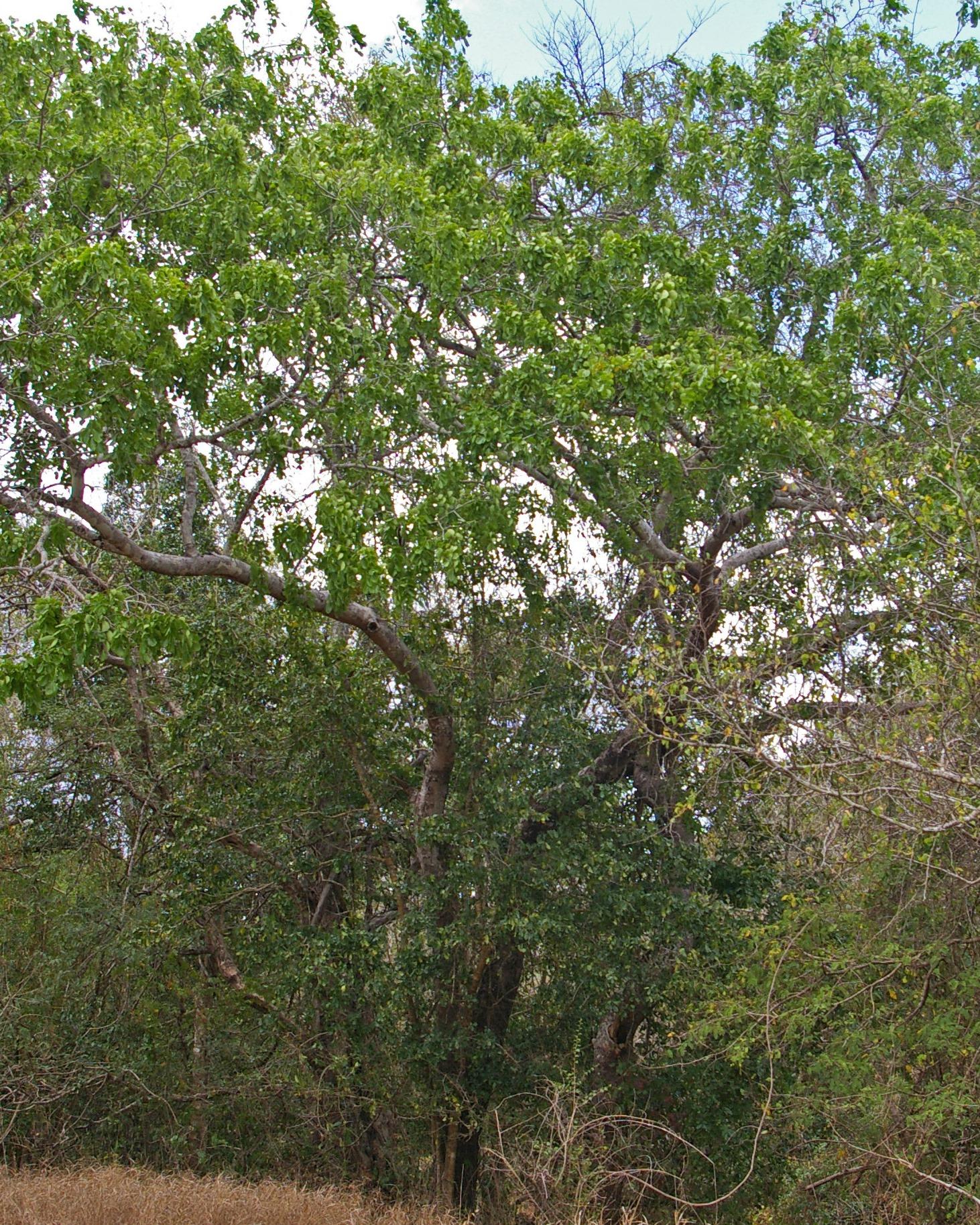 Chamfuta tree