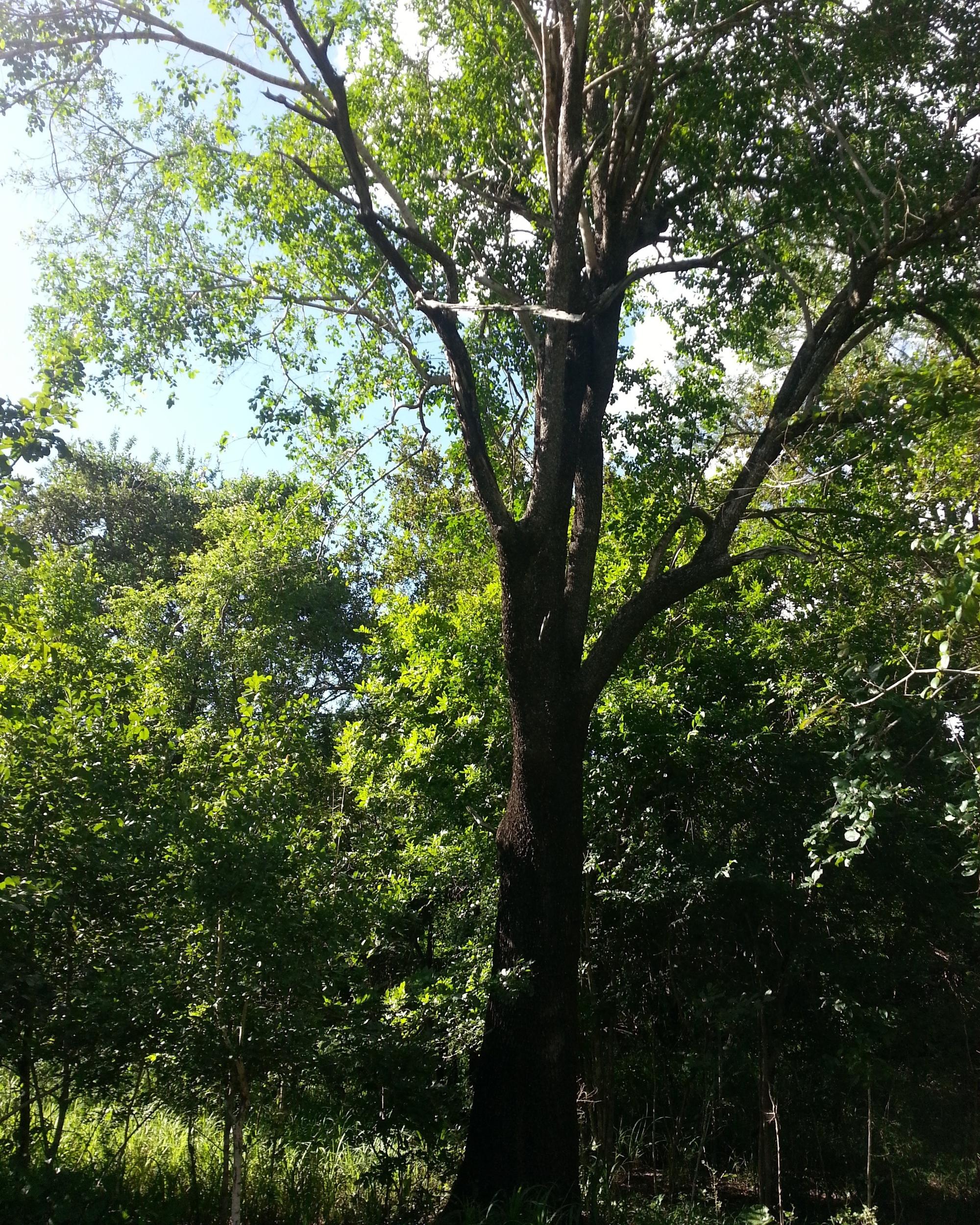 Brown Ivory tree