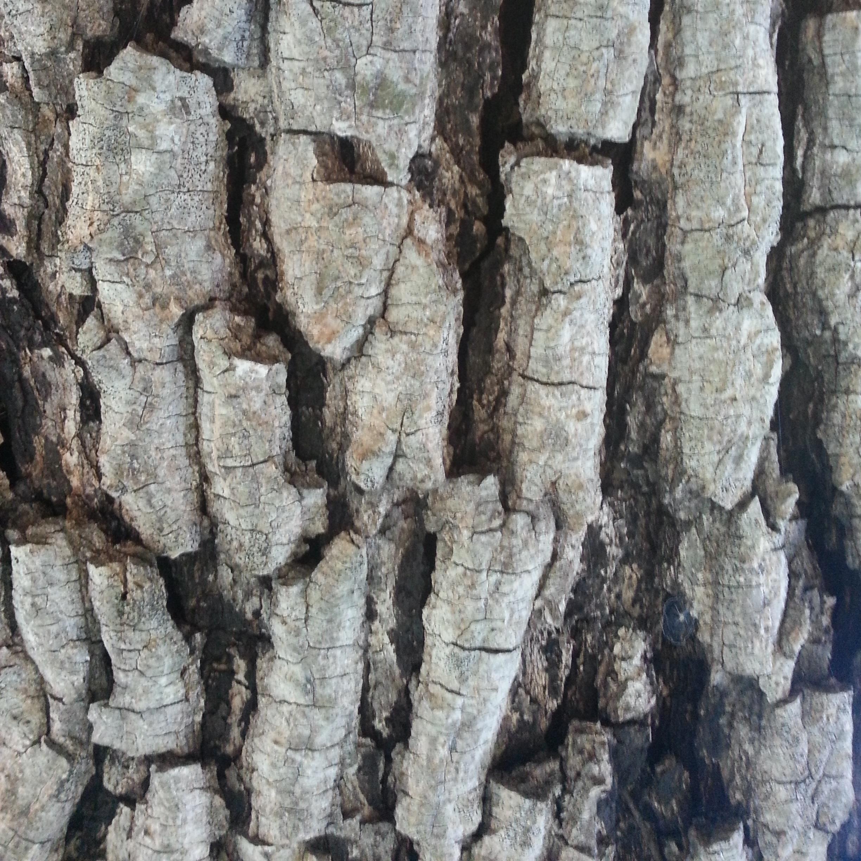 Brown Ivory bark